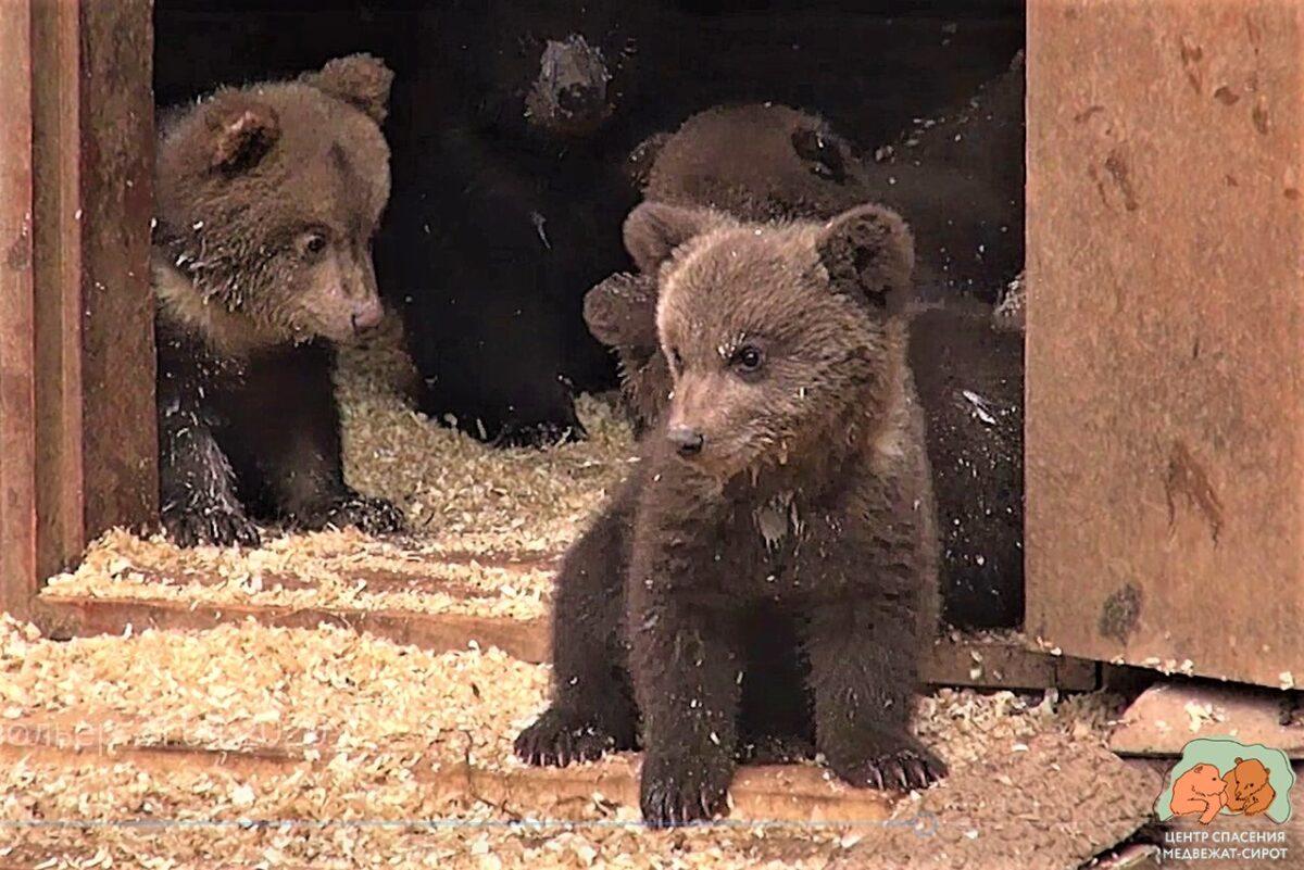 В России сняли сериал о жизни медвежат-сирот в Тверской области