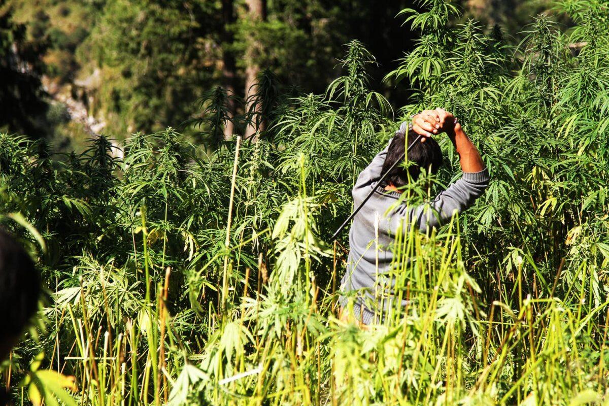 Как найти коноплю в лесу растим марихуану дома