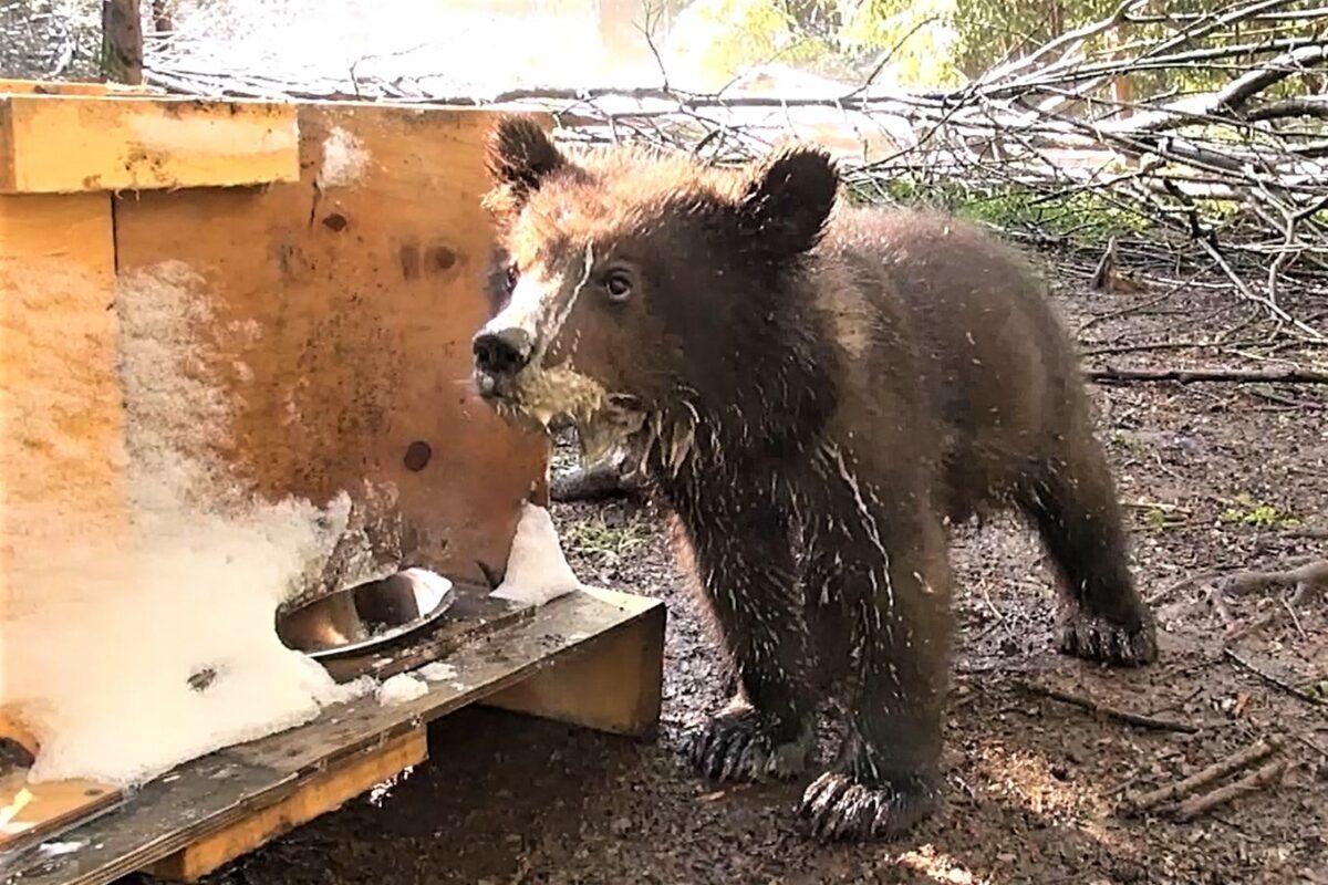 Медвежата в Тверской области стали подростками
