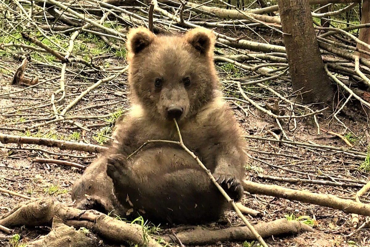 В Тверской области спасли медвежонка-сироту