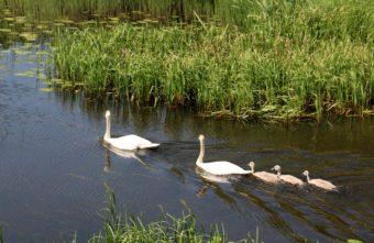 На озере в Тверской области живет лебединая пара с потомством