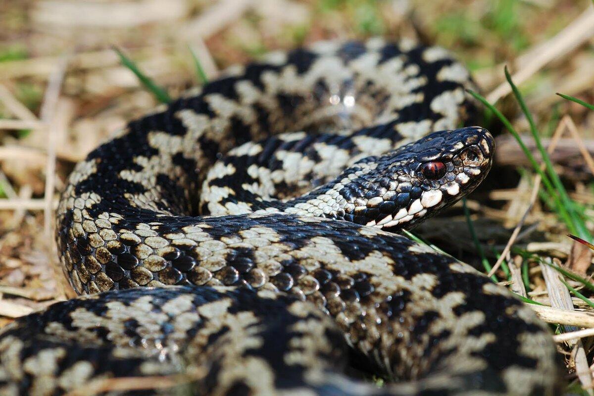 Жителям Тверской области рассказали, какие змеи самые опасные