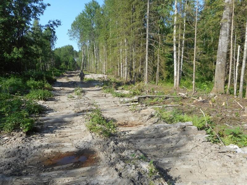 Лесозаготовитель незаконно срубил деревья, чтобы сделать дорогу в Тверской области