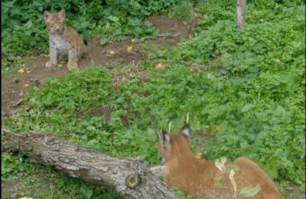 В Тверской области строят вольер для спасенных рысей