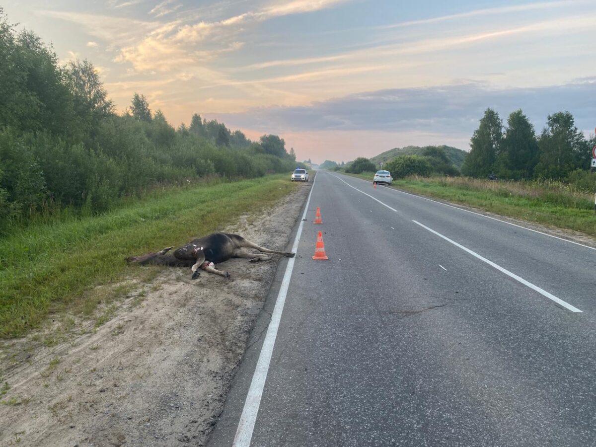 Лось попал под колёса машины на дороге в Тверской области