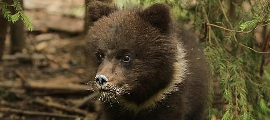 Пужа из Республики Коми не может подружиться с медвежатами в Тверской области