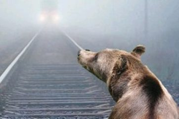 Тверская область взыскала с РЖД деньги за убитого медведя