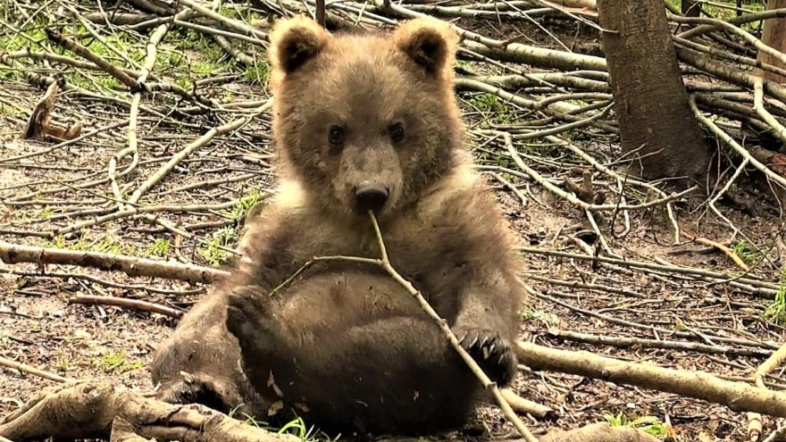 У медвежат-сирот из Тверской области отменный аппетит: новое видео