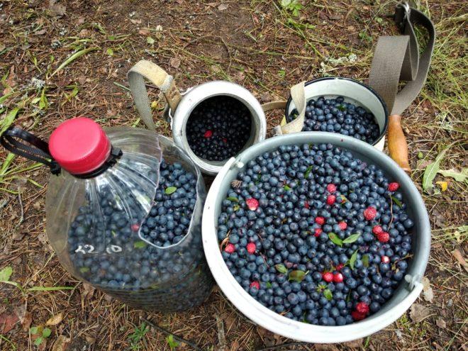 Жители Тверской области ведрами носят грибы и ягоды