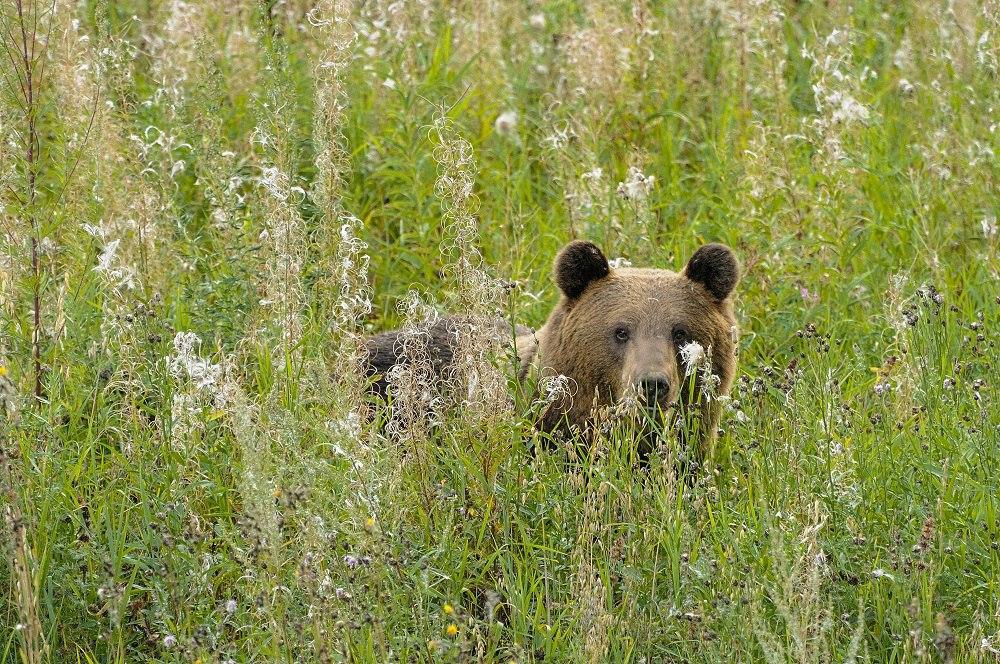 В Тверской области началась демонстрация медведей