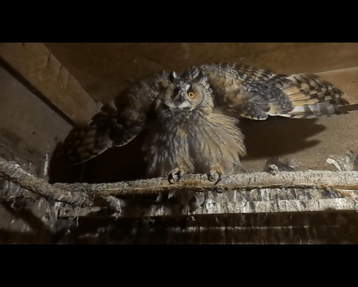 """Тверские биологи опубликовали видео с """"ужасной в гневе"""" совой"""