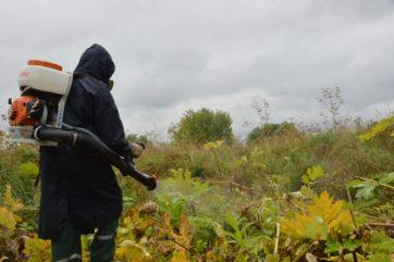 В Твери вдвое увеличили объемы работ по уничтожению борщевика