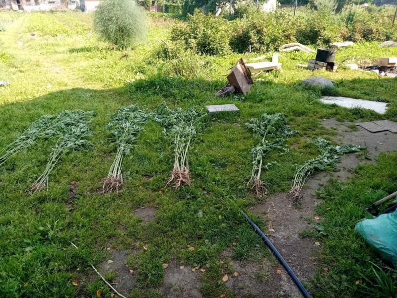 Житель Тверской области вырастил на даче 163 куста конопли