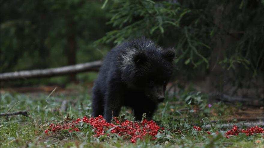 Пужа и красные ягодки: маленькая медведица принимает гостинцы в Тверской области