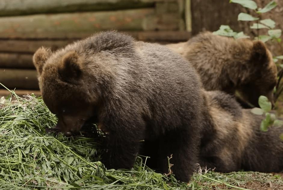 В Тверской области у медвежат очередной пир горой
