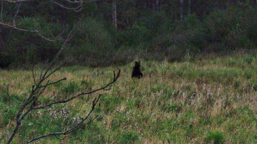 В этом году тверские медведи туристам больше не покажутся