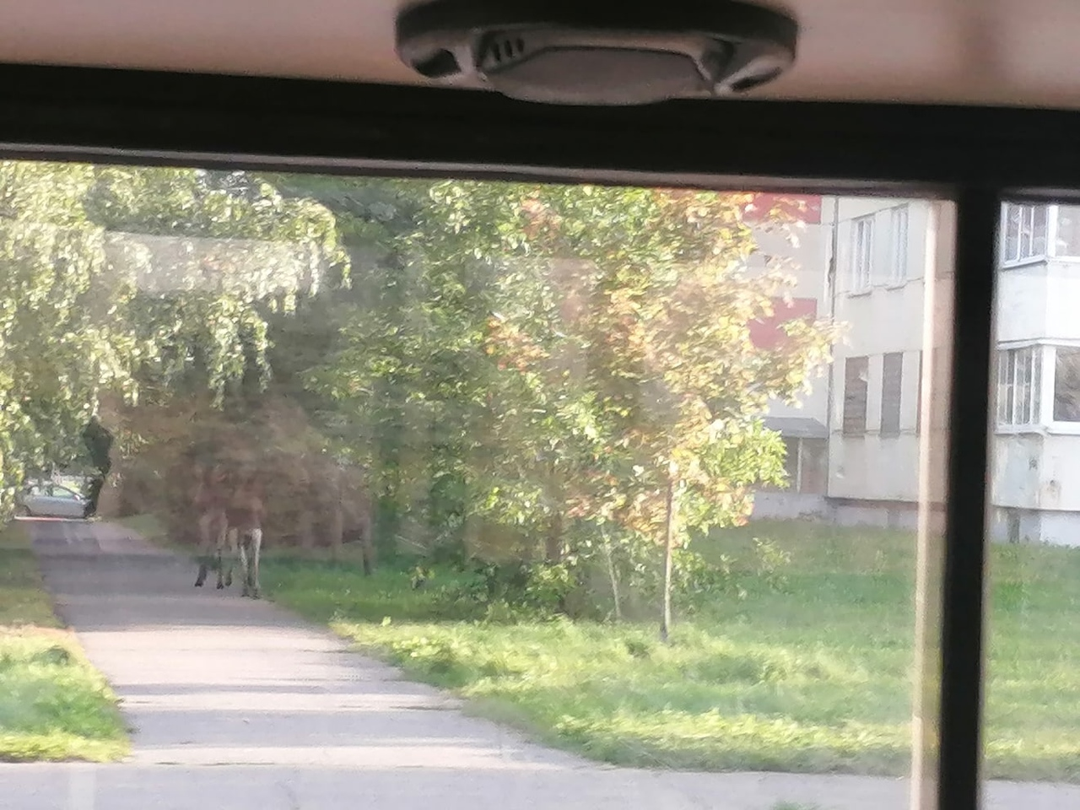 Два лося всё утро гуляли по улицам Твери