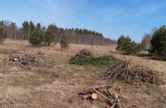 824 молодых сосны спилили в Тверской области, чтобы пустить их на пасту