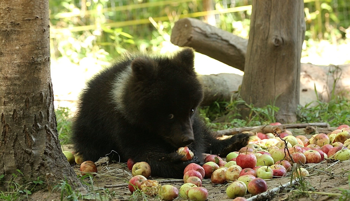 В Тверской области выясняют, что больше любят медвежата: яблоки или рябину