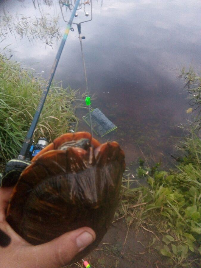 В Тверской области в Волге завелись черепахи