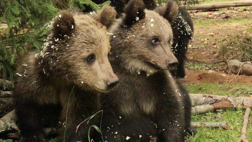 Прощаться не будем: 18 медвежат из Тверской области уходят в лес