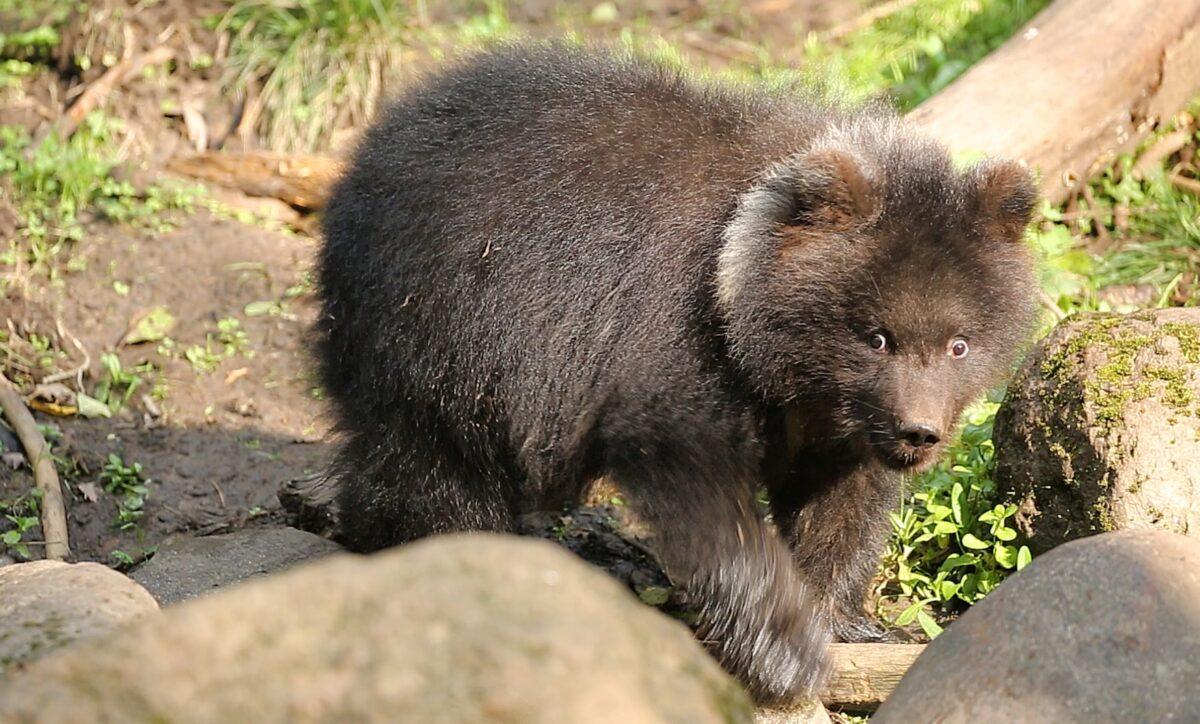 Одинокая медведица из Тверской области нашла себе друга