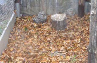 В Тверской области место сипух заняли неясыти