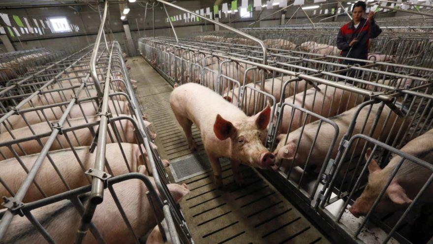 В Тверской области выделили землю под новый свиноводческий комплекс
