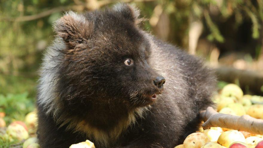 В этом году медвежата-сироты в Тверской области съели 12 тонн яблок
