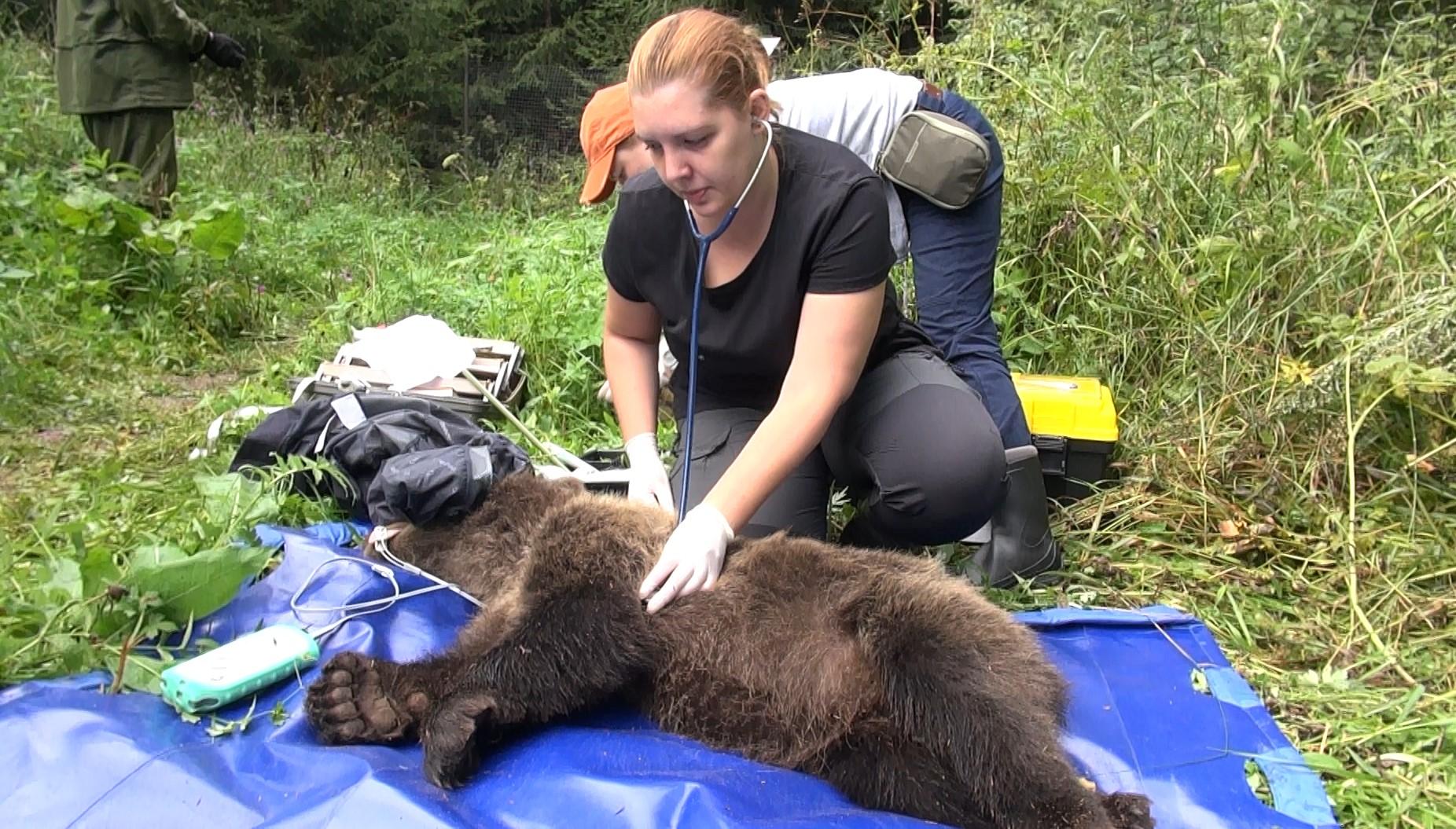 Шесть тверских медвежат ушли в лес после врачебного осмотра