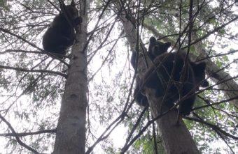 Опубликовано видео, как в Тверской области медведи прячутся от опасности
