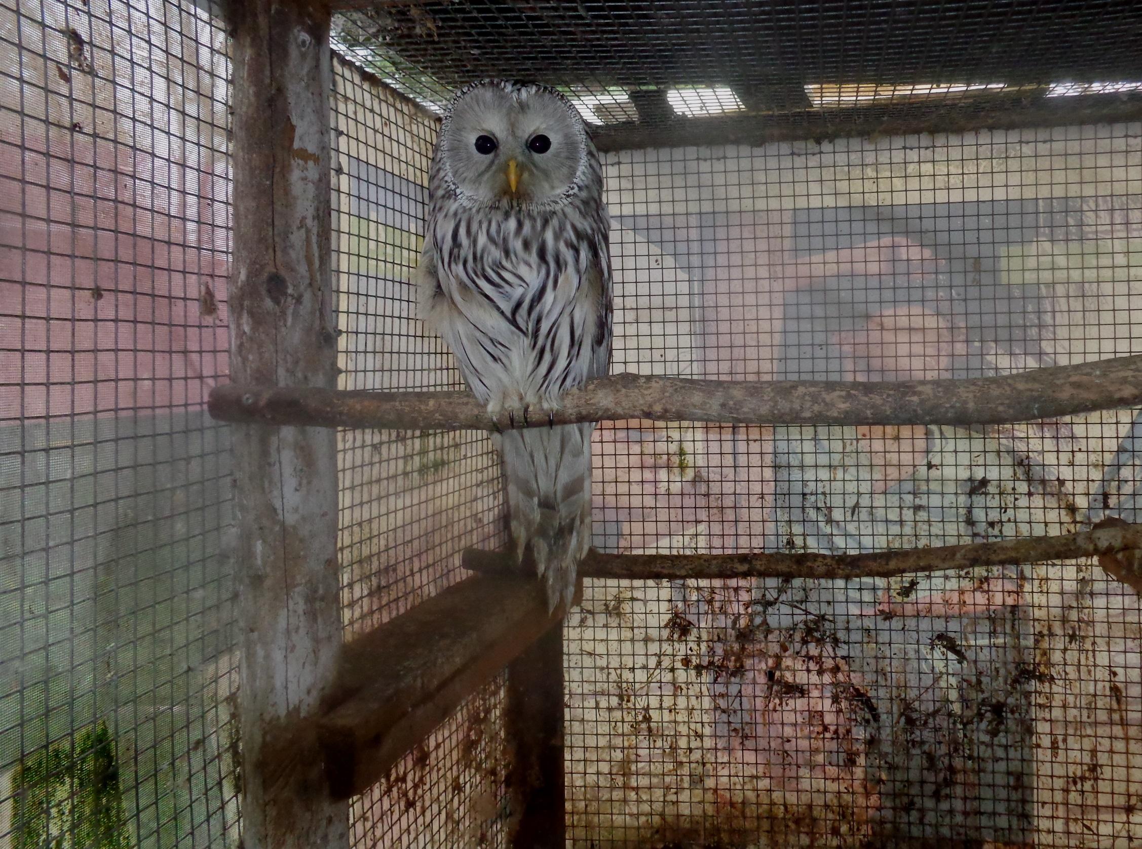 В Тверской области сова врезалась в стену, улетая от ворон