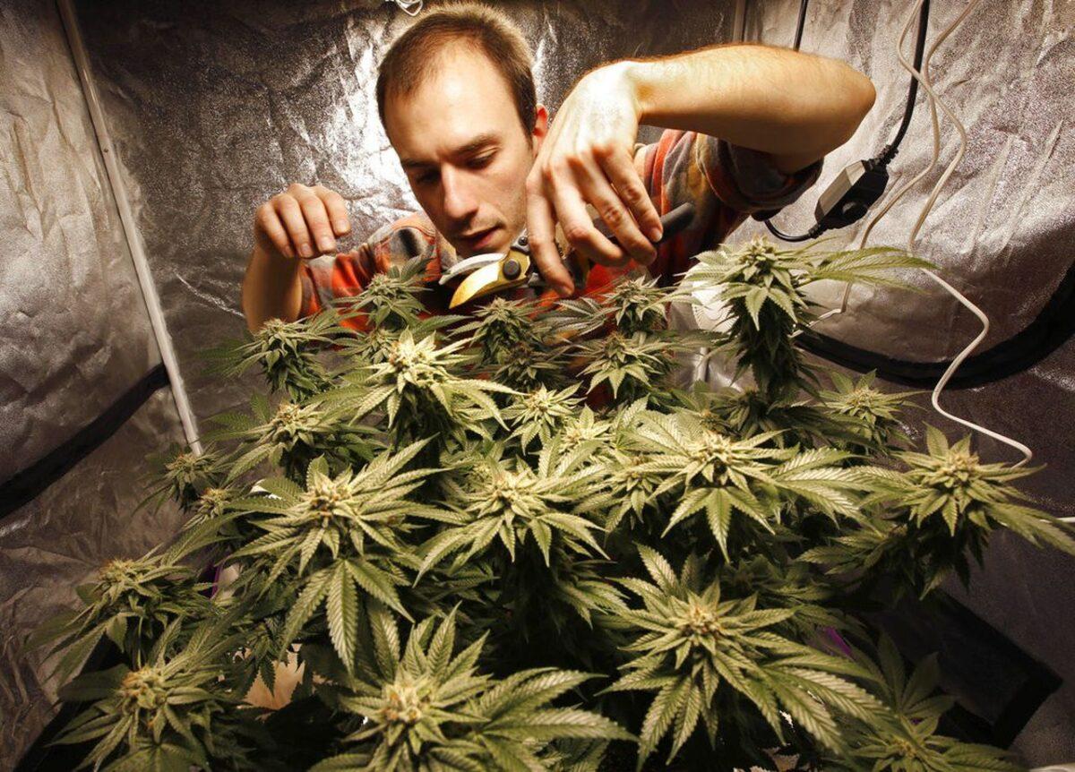 Что делает конопля с человеком купить марихуану наложенным