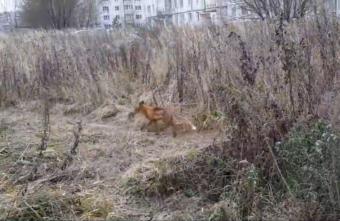 Исхудавшая лиса подобралась к многоэтажным домам в Твери