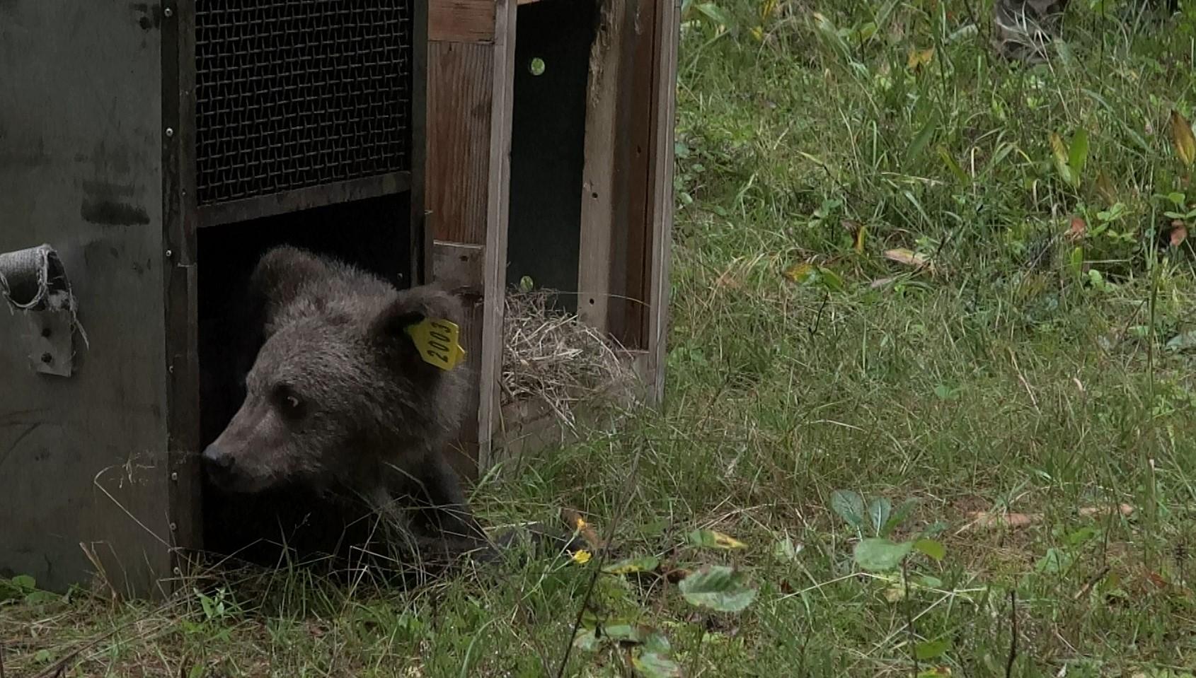 Медвежата, спасенные в Тверской области, разъехались по родным местам