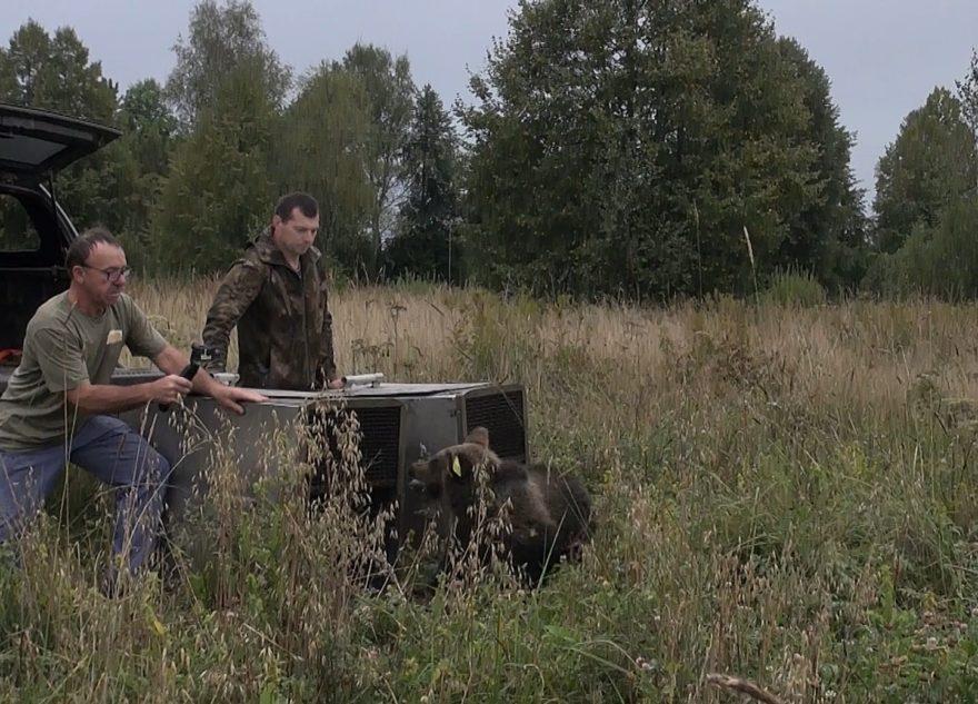 """Опубликовано видео, как тверские ученые выпустили медведей-""""тяжеловесов"""""""