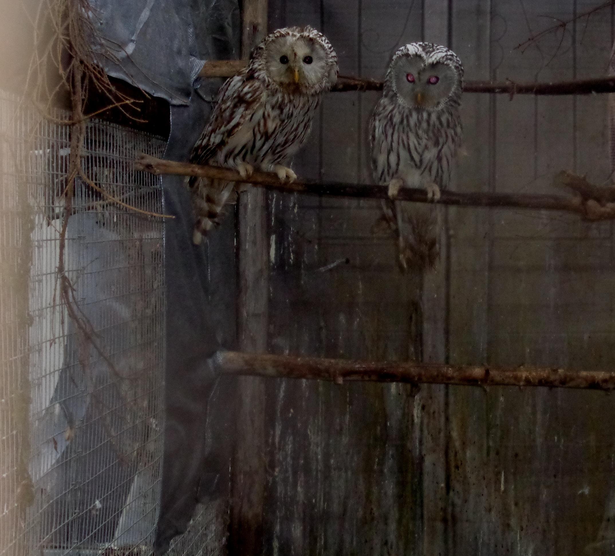 В Тверской области совы линяют и учатся охотиться