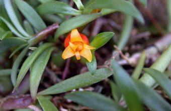 В Твери намного раньше срока зацвела самая капризная орхидея