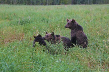 Еще три медвежонка из Тверской области подросли и ушли в лес