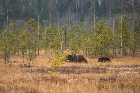 Медведи доедают последнюю клюкву в Тверской области