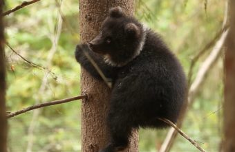 Глубокой осенью тверские медвежата становятся все более пугливыми