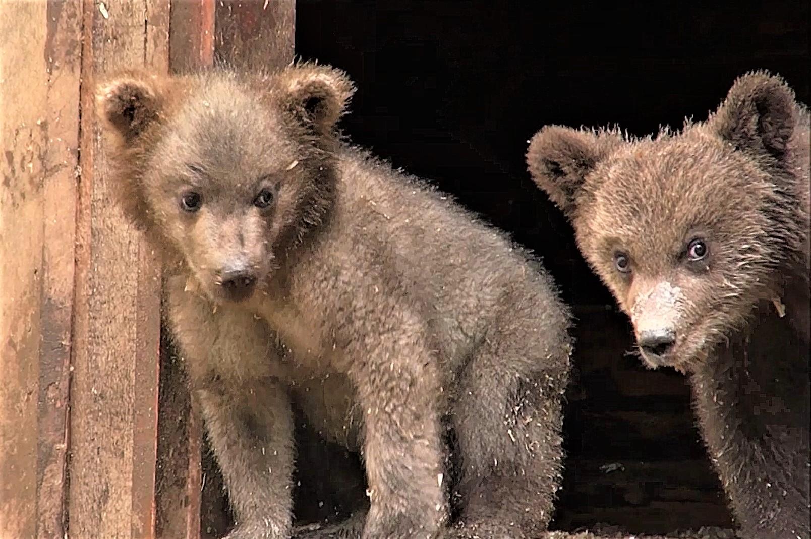 Прощайте, Карел и Кузя: грустное видео с медвежатами в Тверской области