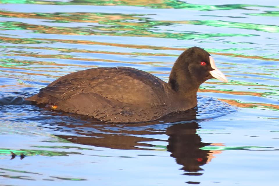 В Твери в устье Соминки зимуют редкие птицы