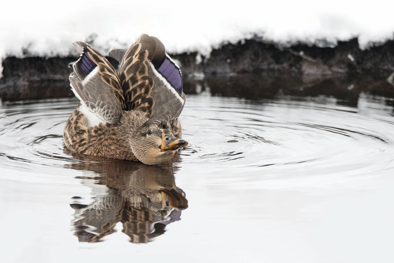 Странная утка-авантюристка в одиночестве зимует на ручье в Твери