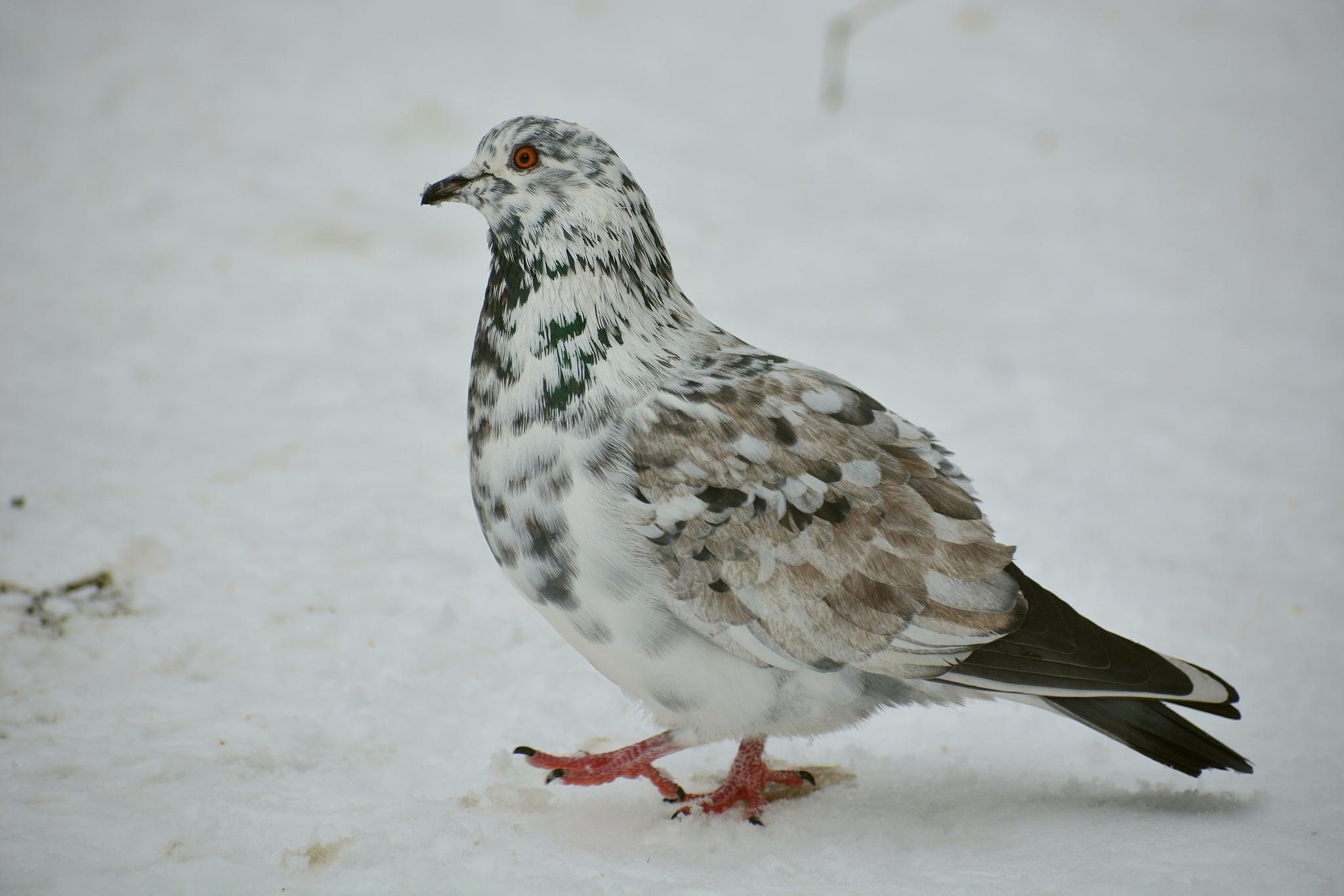 В Твери видели необычного голубя