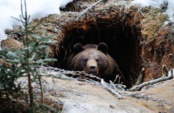 Из-за погодных аномалий тверские медведи могут плохо перенести зиму
