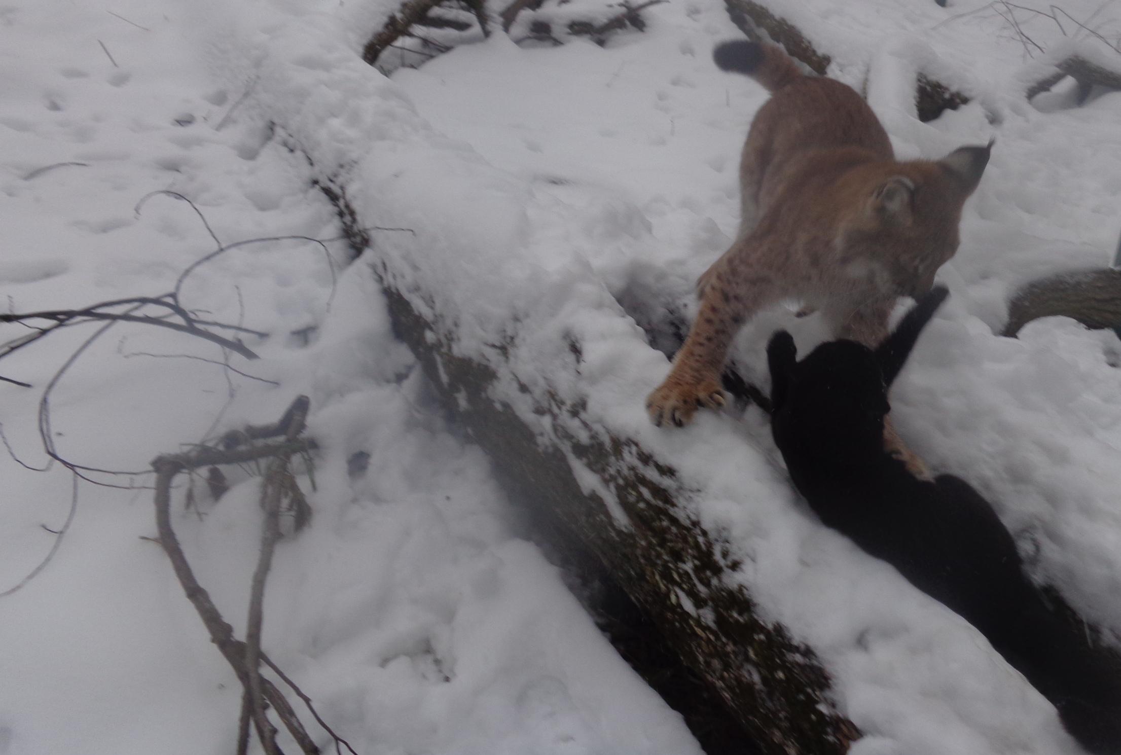 Рыси устроили охоту на котов в Тверской области