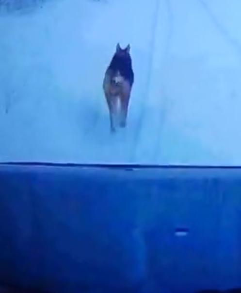 Волк в Тверской области не давал проехать водителю