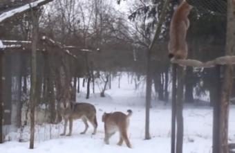 Опубликовано видео противостояния рысей и волков в Тверской области