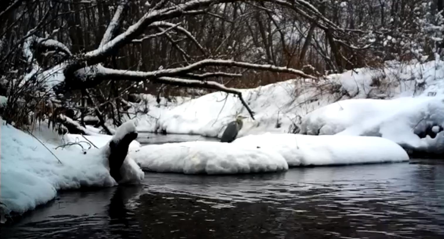 Впервые под Тверью зимой встретили серую цаплю